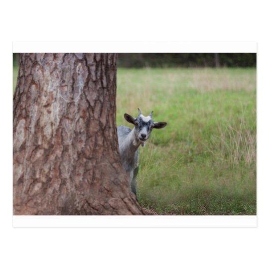 Embrome (cabra) mirar a escondidas de detrás un postal