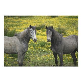En Irlanda occidental, dos caballos con de largo Impresion Fotografica