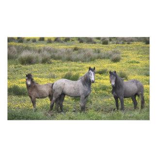 En Irlanda occidental, tres caballos con de largo Fotografías
