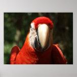 Encima de Macaw cercano y personal del escarlata Impresiones