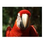 Encima de Macaw cercano y personal del escarlata Tarjeta Postal