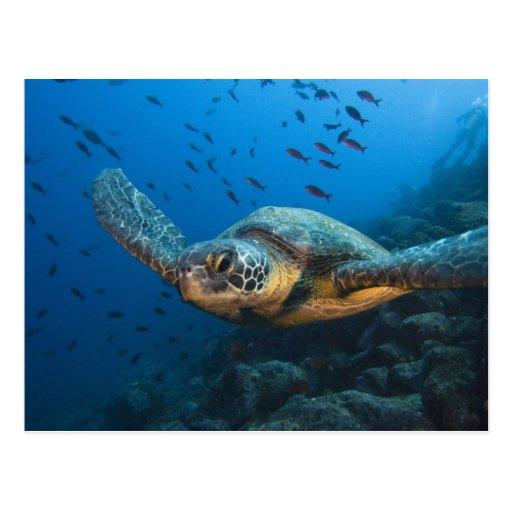 Ennegrezca la tortuga (verde) (agassizi del Chelon Postal