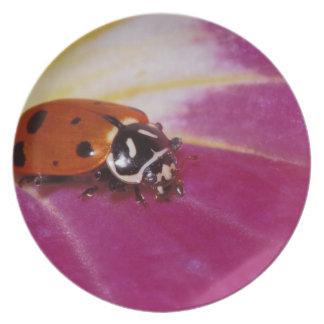 Escarabajo de la mariquita. (Convergens del Hippod Plato De Cena