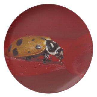 Escarabajo de la mariquita. (Convergens del Hippod Platos