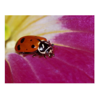 Escarabajo de la mariquita. (Convergens del Postal
