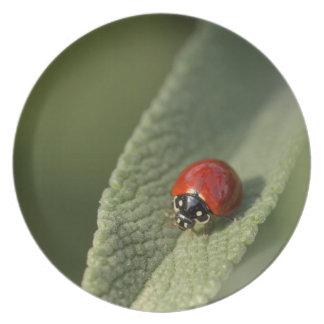 Escarabajo de mariquita convergente en el sabio de plato de cena