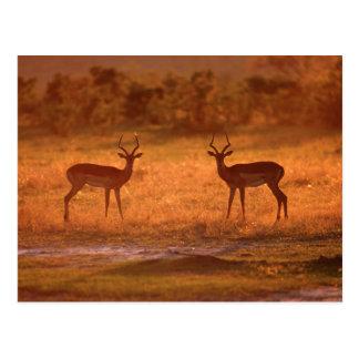 Espolones del impala (Aepyceros Melampus) en la Postal