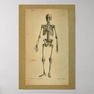 Esqueleto 1850 de la impresión de la anatomía del
