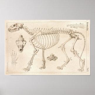 Esqueleto de la impresión veterinaria de la