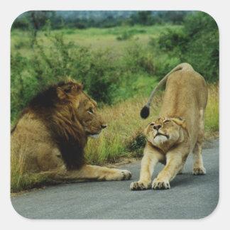 Estiramiento de la leona calcomania cuadradas personalizada