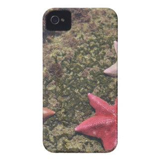 Estrellas de mar vivas (4).JPG Funda Para iPhone 4 De Case-Mate