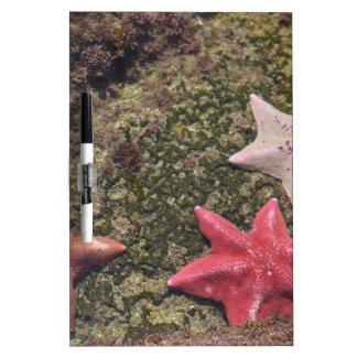Estrellas de mar vivas (4).JPG Pizarra Blanca