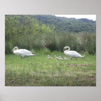 Familia del cisne en el poster de Irlanda Póster