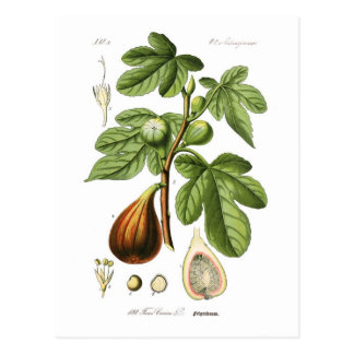 Ficus Carica (higo) Postal
