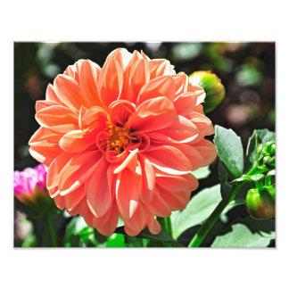 Flor anaranjada de la dalia impresion fotografica