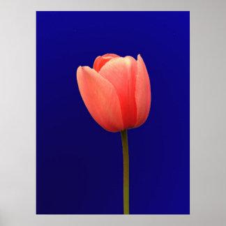 flor anaranjada del tulipán en fondo azul póster