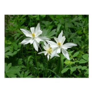flor blanca de la montaña postal