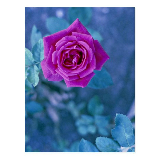 Flor color de rosa hermosa postal