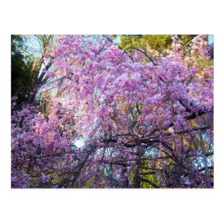 Flor de cerezo postal