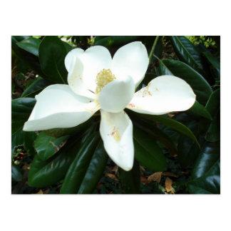 Flor de la magnolia postal