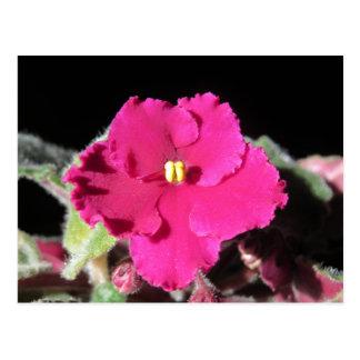 Flor de la violeta africana de Borgoña Postales
