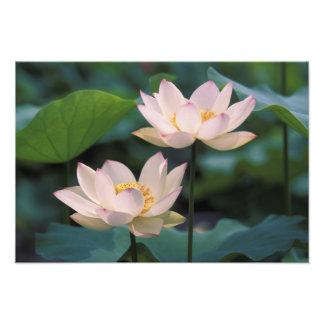 Flor de Lotus en el flor, China Impresiones Fotográficas
