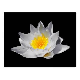 Flor de Lotus (fondo negro) Postal