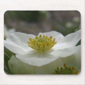 Flor de mayo, narcissiflora de la anémona alfombrilla de ratón