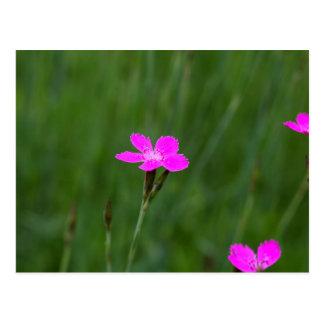 Flor de un rosa virginal postal
