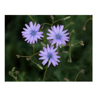 Flor de una lechuga de la montaña postal