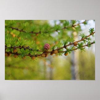 Flor del alerce en Finlandia Póster