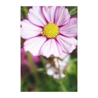 Flor del cosmos (bidens Formosa) Lona Envuelta Para Galerías