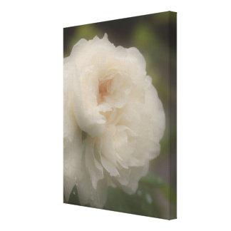 Flor del rosa blanco en la floración lona envuelta para galerias