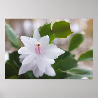 Flor del Schlumbergera CC0039 del cactus de Póster