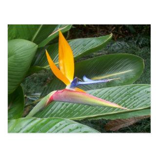 Flor hawaiana tarjetas postales