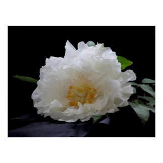 Flor hermoso del Peony Póster