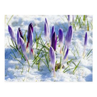 Flor púrpura del azafrán de la tarjeta en nieve