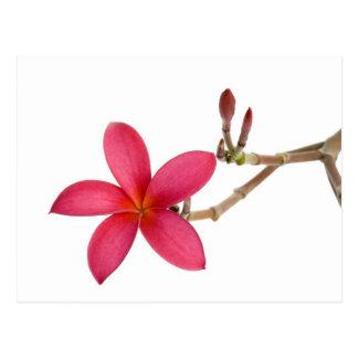 Flor roja del Frangipani Postal