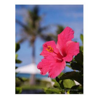 Flor rosada del hibisco postal
