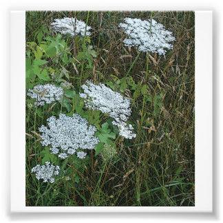 Flor salvaje blanca del cordón de la reina Anne Arte Fotografico