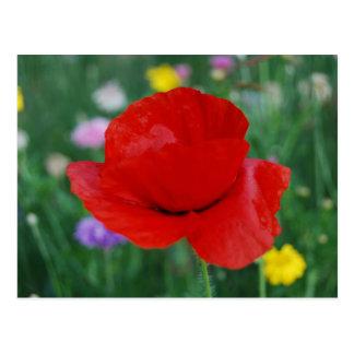 Flor y significado de la amapola postal