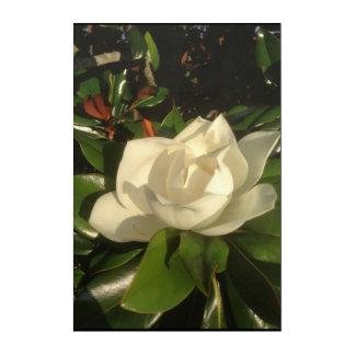 Floración de la magnolia por la tarde Sun Impresión Acrílica