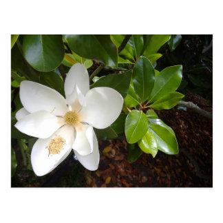 Floración de la magnolia postal