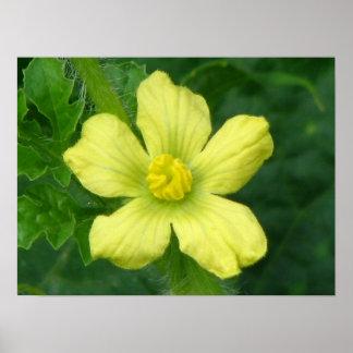 Floración de la sandía impresiones