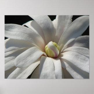 Floración del Centennial de la magnolia Póster