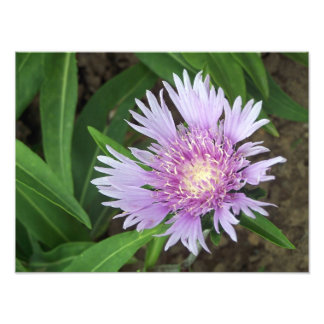 Floración perenne de la flor del aster de arte fotográfico
