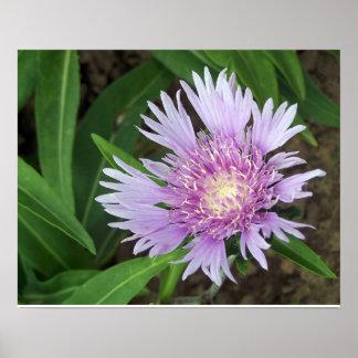 Floración perenne de la flor del aster de póster