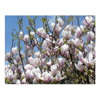 Floraciones de la magnolia en postal de la