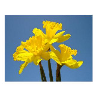 Florece el jardín amarillo de los narcisos de las