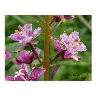 Flores abigarrados del Fireweed, isla de Unalaska Postal